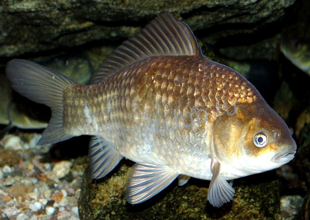 Рыба на Каме