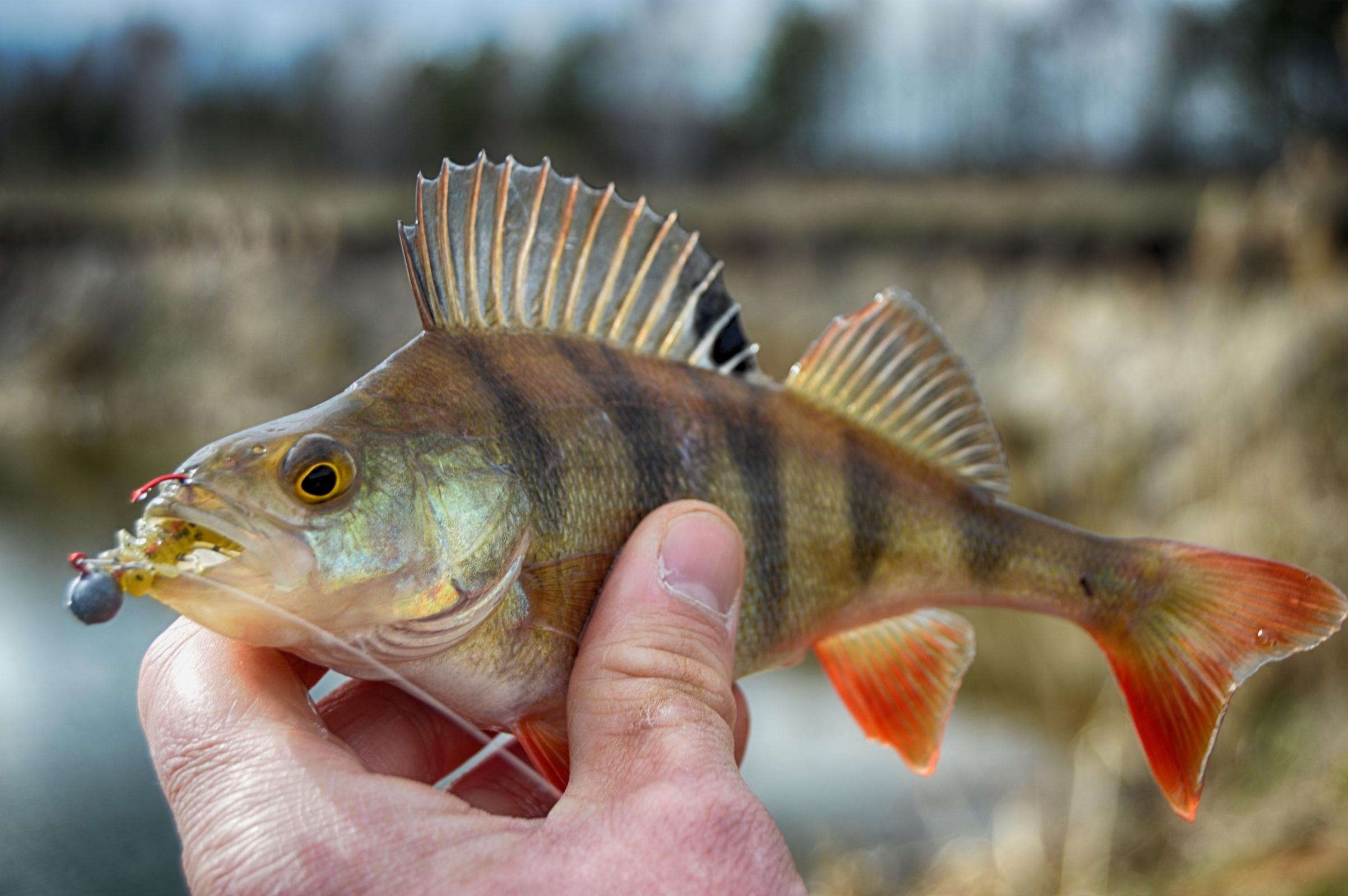 картинки про рыбу окуня этот радостный день