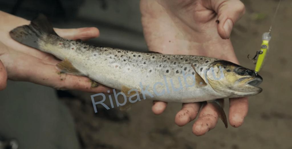 Основные виды лососевых. Снасти, наживки, советы по лову рыбы.