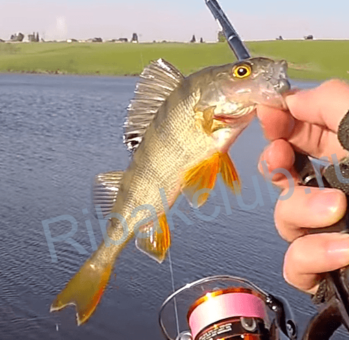 Рыбалка в мае. Как ловить щуку и окуня.