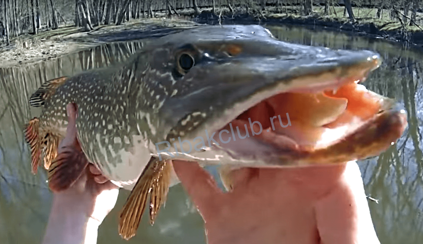 Pike of the month – March. The pike fishing in the spring. The best month for pike. Photo.