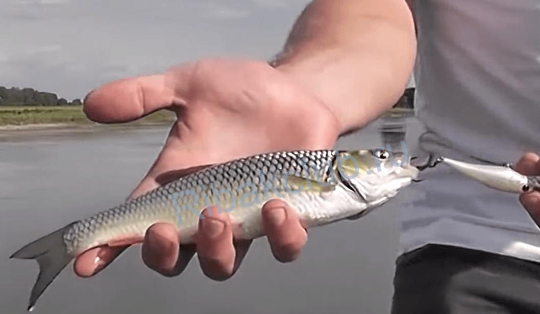 видео рыбалка на жереха