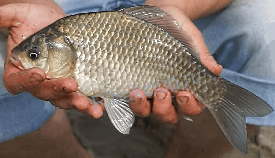 """Catching big carp in """"the pacifier"""". Catchability """"nipple"""" on the carp with their hands"""