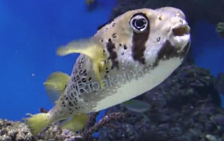 Ядовитый деликатес Японии: рыба фугу