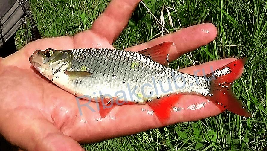 какая рыба ловится на горох видео