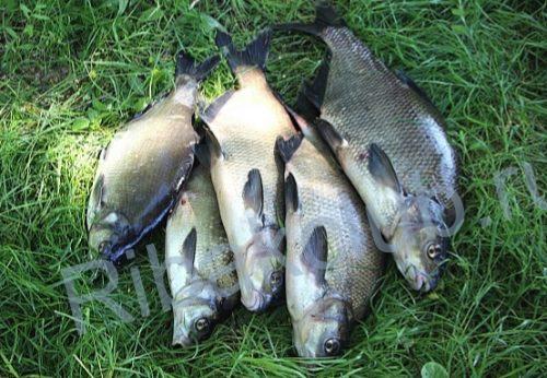 Ловля рыбы на сало