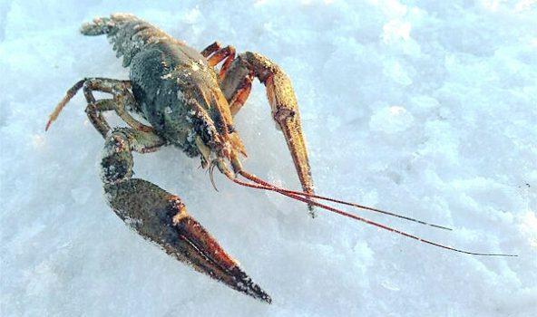 Как лучше ловить раков зимой?