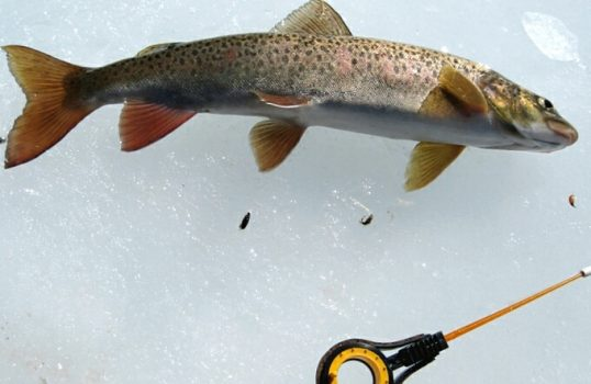 Ловля ленка в январе. Ленок в январе ловится? Как и любая другая рыба, ленок имеет место быть.