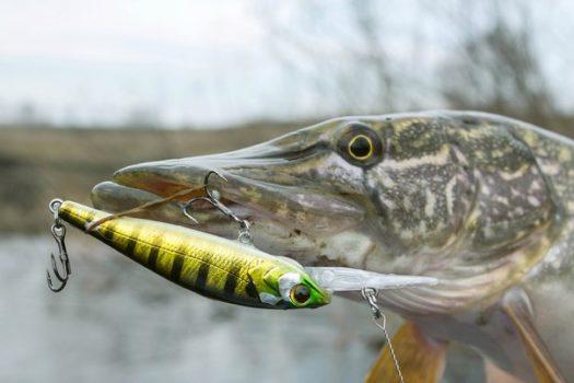 Ловля щуки летом. С чего начать и чем закончить. Советы для начинающих рыболовов.